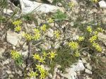Первые маленькие желтые цветочки на горе