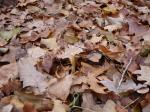 Капельки осеннего дождя на жухлых дубовых листьях