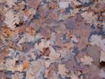 Опавшие дубовые листья в луже лежат