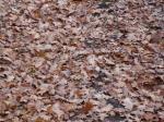 Лесной ковер опавших листьев