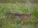 Муравейник в поле