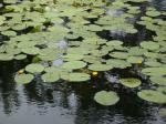 Кувшинки на озере цветут